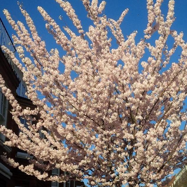 blossom1 (2)